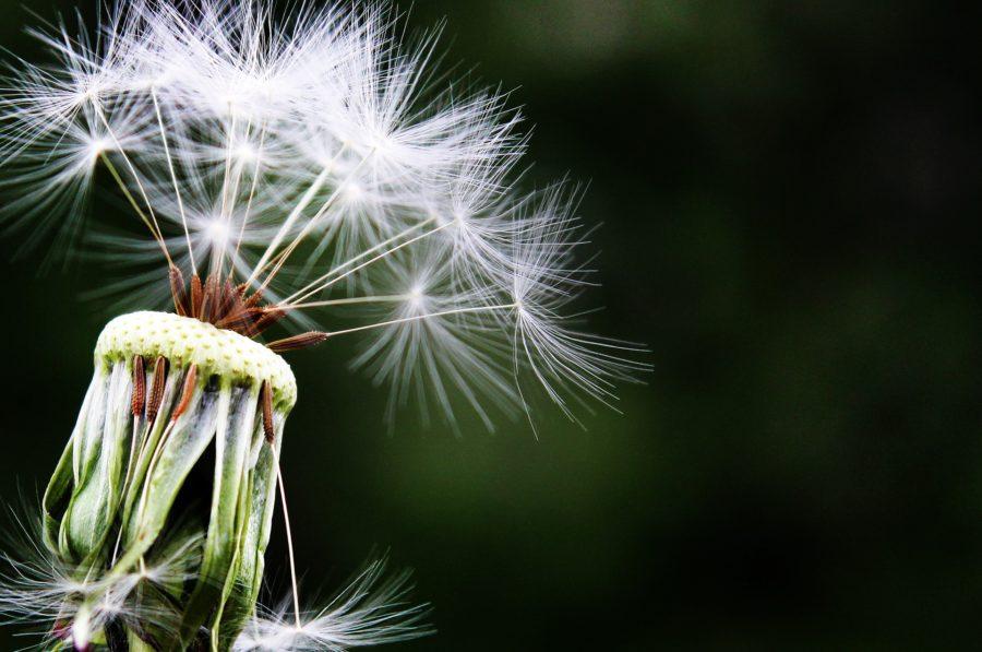 Les allergies saisonnières selon l'Ayurveda